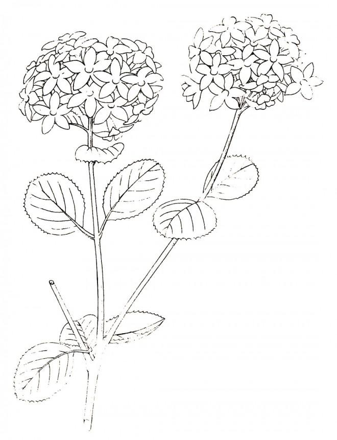 Viburnum carlesii, the scented parent of Viburnum x burkwoodii