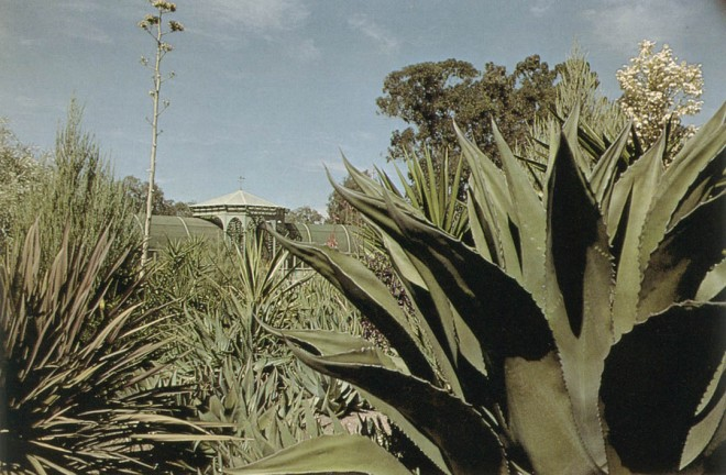 Agave ferox in right foreground with flower of Yucca gloriosa behind. Cordyline australis purpurea left foreground with flower stem of Agave potatorum hybrida behind.