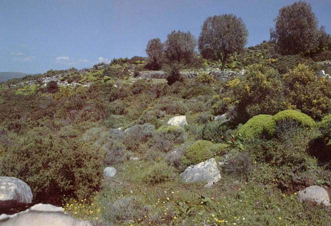 Euphorias acanthothamnos, lavenders and brooms on the island of Euboea, Greece.