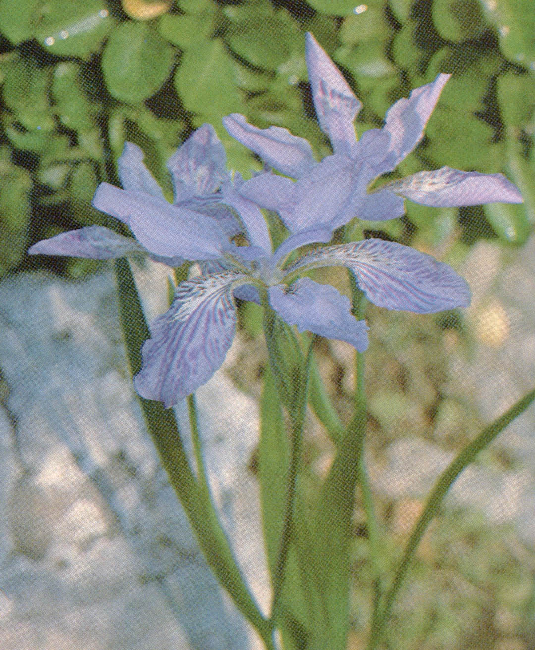 Pacific horticulture society beardless irises the crested iris tectorum izmirmasajfo