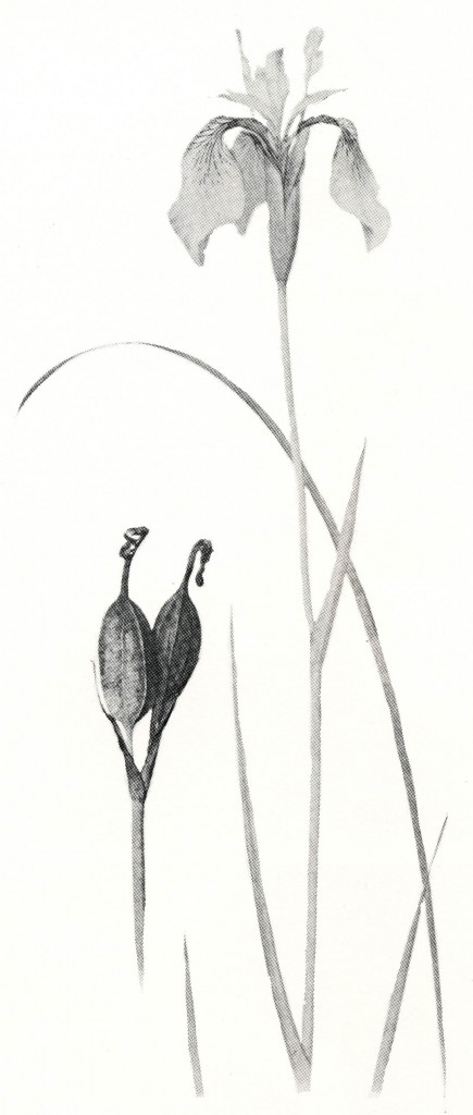 Iris forrestii. This and other monochrome illustrations are by F. H. Round, reproduced from The Genus Iris by W. R. Dykes.