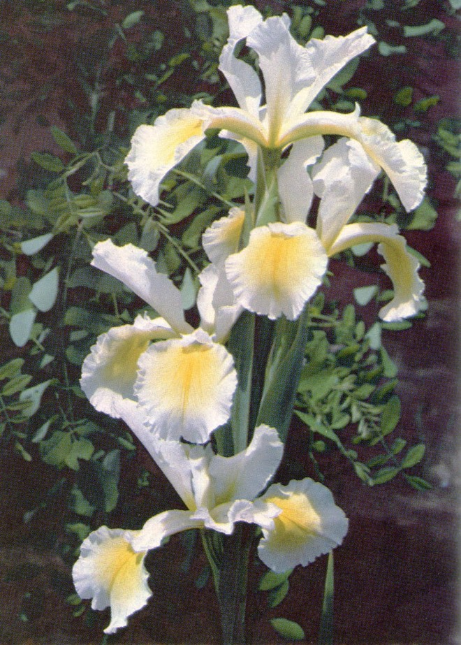 Spuria iris 'Ila Crawford'. Photographed at Melrose Gardens by Sid DuBose and the author.