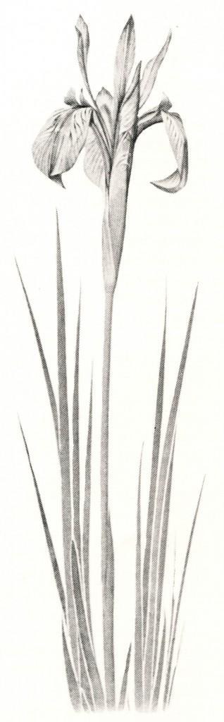Iris longipetala (I. montana)