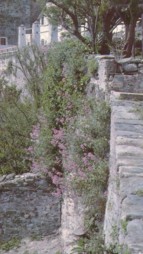 Centranthus ruber in a wall on the Athos peninsula.