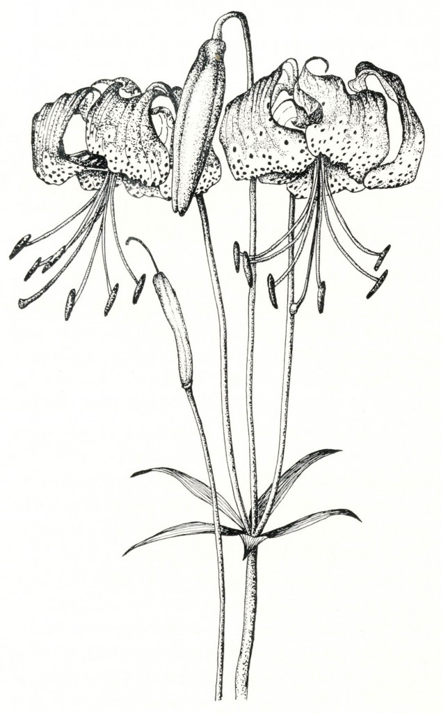Lilium pardalinum. Drawings by Nancy Baron.