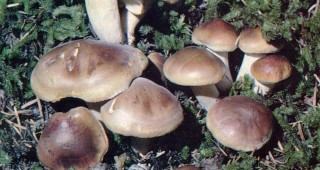 Hygrophorus bakerensis is found in conifer forests.