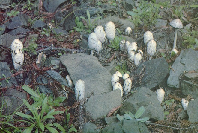 Coprinus comatus must be gathered while young.