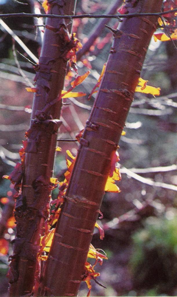 The peeling bark of Prunus serrula