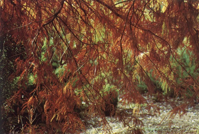 Taxodium distichum, author's photograph