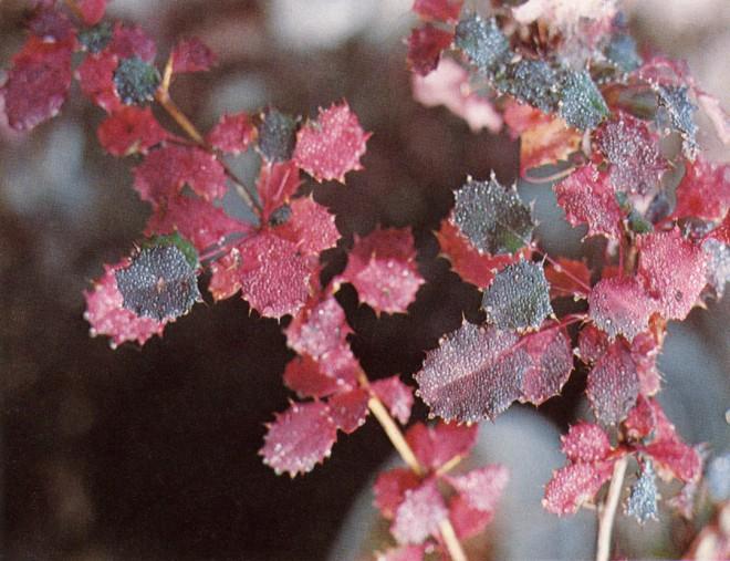 Winter leaves on a hybrid plant of Berberis wilsonae