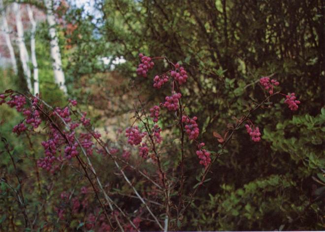 Berries on a hybrid plant of Berberis wilsonae