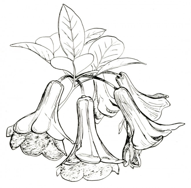 Rhododendron lochae. Drawings by Lucio Sorensen.