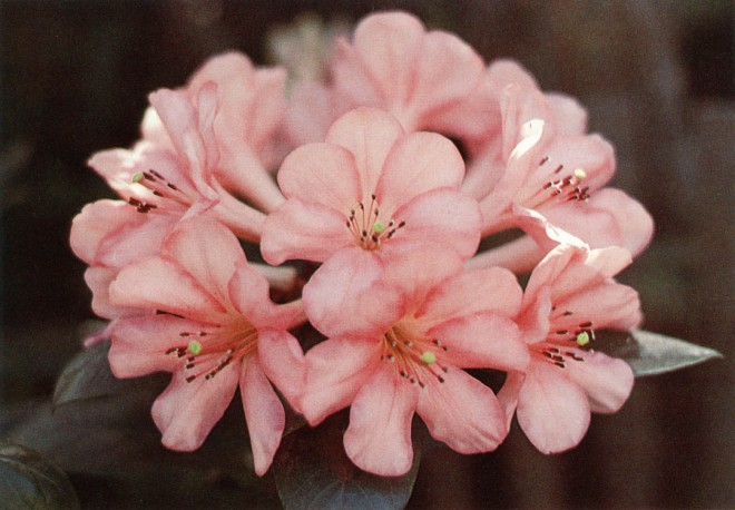 A lightly fragrant Vireya rhododendron, A429, raised by Carl Deul, whose photographs illustrate this article.