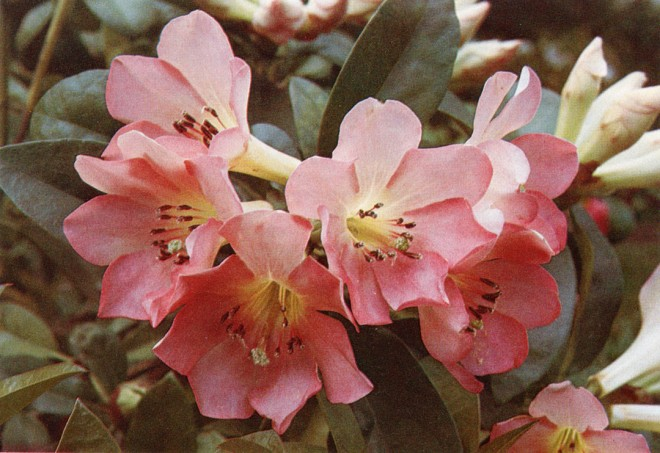 'Dr. Sleumer', a rhododendron named for the botanist who introduced many vireyas.