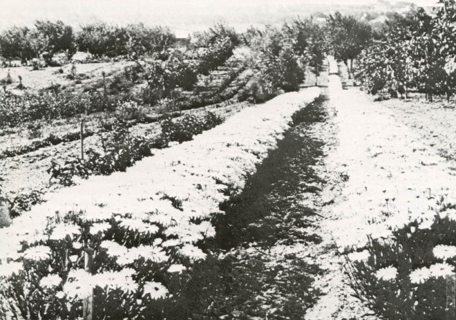 The Farm in its heyday, with rows of Shasta daisies.