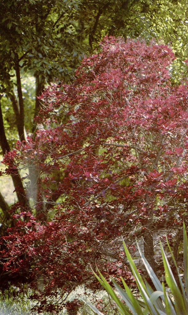 Cotinus  coggygria  'Royal Purple'. Photographs by the author.