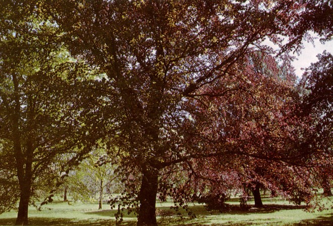Copper beeches at the Royal Botanic Garden, Kew. Photographs by the author.
