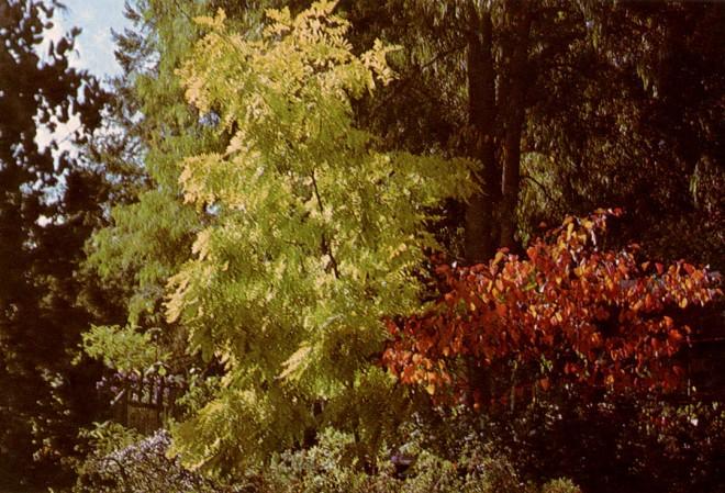 Robinia pseudoacacia 'Frisia' and Cercis canadensis 'Forest Pansy'