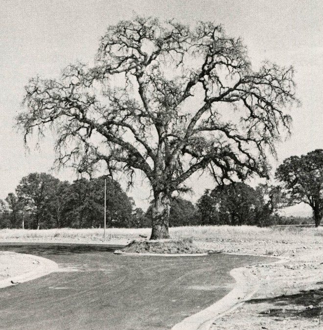 Victim of a developer's good intentions near Carmichael, California. The attempt to preserve the tree came to nothing because grading was taken too close.