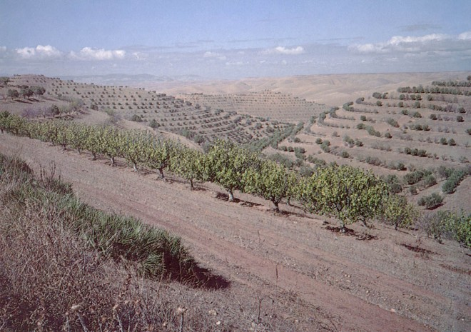 Terraced citrus orchards on the road to Meknes, Morocco.