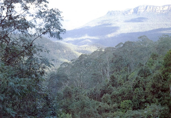 Forest of Eucalyptus oreades in the Blue Mountains, to the west of Sydney, Australia. Photographs by the author.