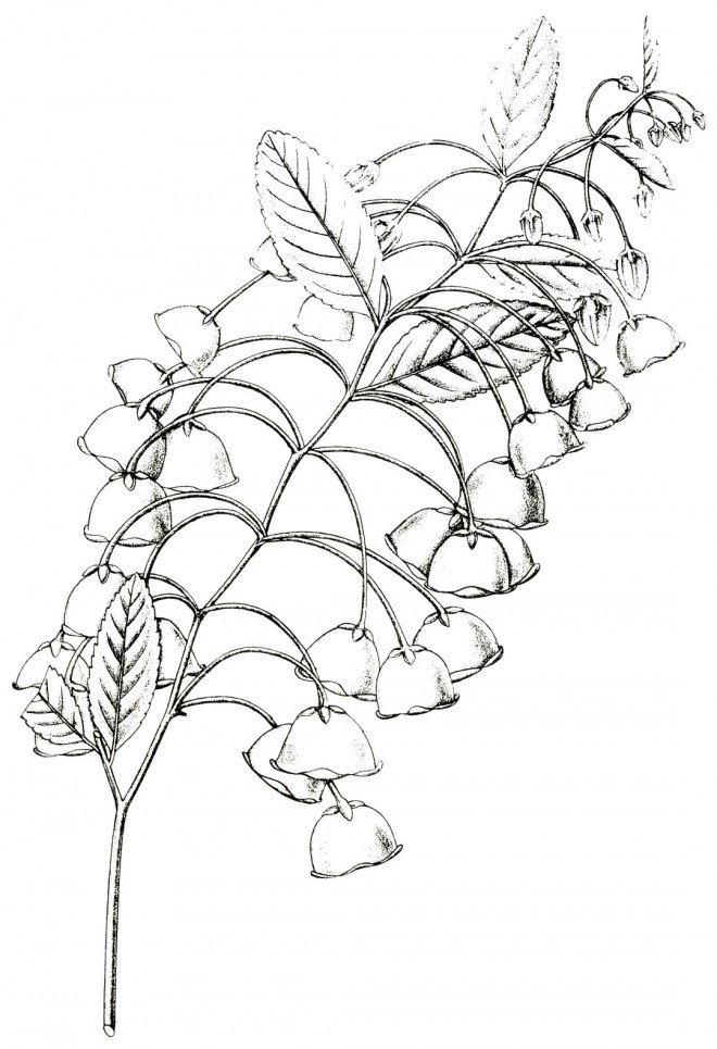 Zenobia pulverulenta; Drawing by A.W. Damell from Hardy and Half-Hardy Plants.