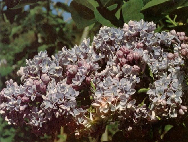 Walter Lammerts' lilacs flower regularly at Descanso Gardens.