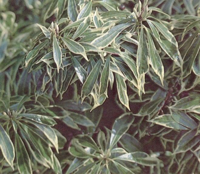 Pieris japonica 'Variegata'.