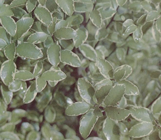 Pittosporum tenuifolium 'Marjory Channon'. Photographs by the author.