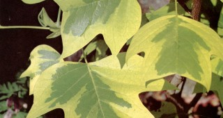 Liriodendron tulipifera 'Aurea Marginata'. Photograph by W.G. Waters.