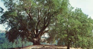 The Council Madrone in Humboldt County, California. Author's photograph.