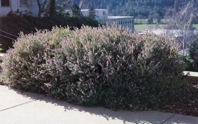 Erica x darleyensis 'Darley Dale' on the campus at Pacific Union College, Angwin, California.