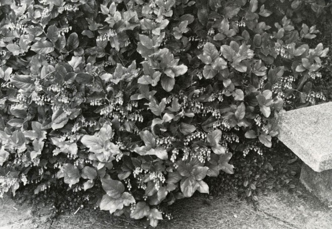 A ground cover of salal, Gaultheria shallon, on the University of Washington campus.