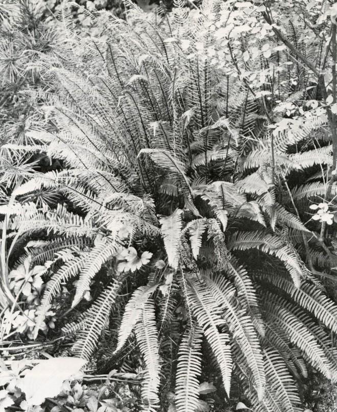 The deer fern, Blechnum spicant.