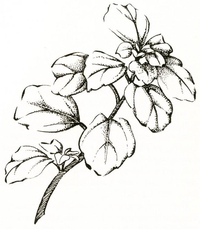 Ribes viburnifolium. Drawings by Nancy Baron.