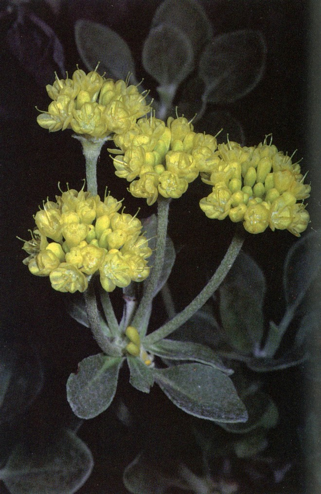 Eriogonum umbellata. Photograph by Dale Gilkinson.