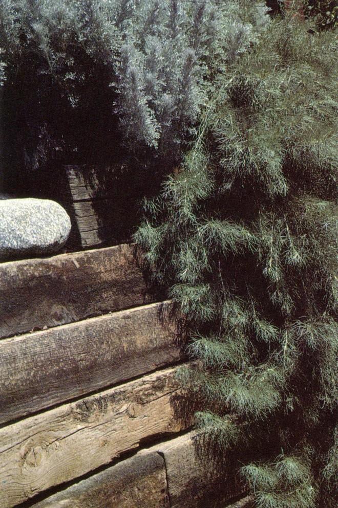 Artemisia pycnocephala and A. californica 'Canyon Gray.' Photograph by Liz Sutton.