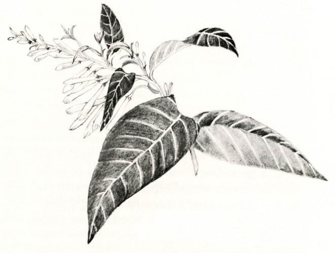 Cestrum nocturnum. Drawings by Mimi Osborne.