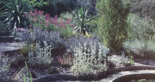 An area planted with stachys, lavender, valerian and furcraeas by the pool in the author's garden. Author's photographs.