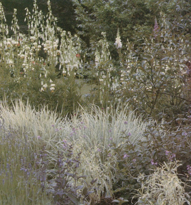 Martagon lilies, variegated grass and lavenders at Knightshayes Court, Devonshire, England.