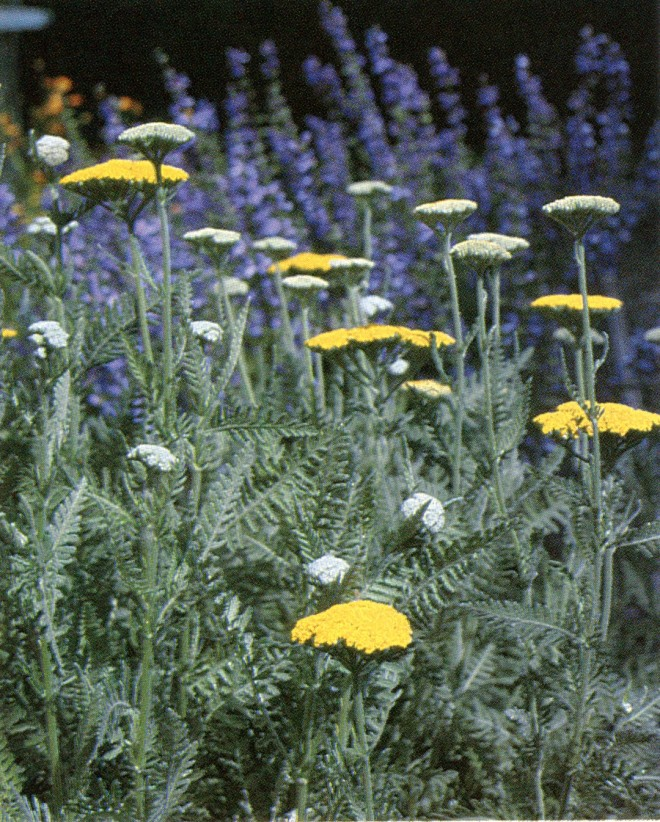 Achillea 'Moonshine' with a background of Salvia nemorosa. Photograph by W.G. Waters.
