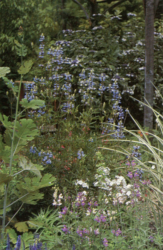 Bay of perennials with Macleaya  cordata. Author's photograph.