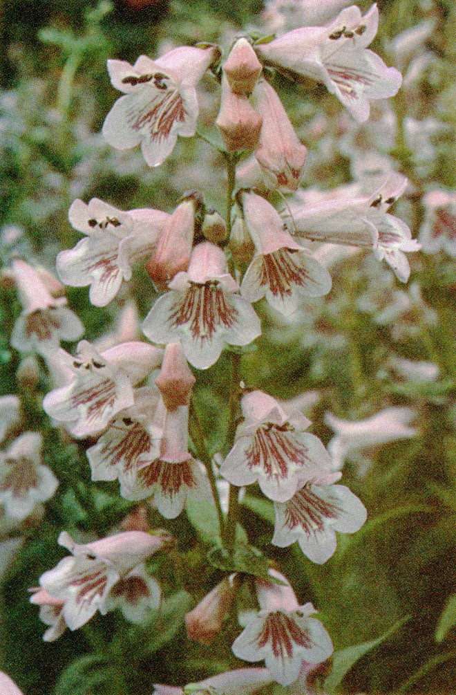 Penstemon 'Hidcote Pink'. Photograph by Ted Kipping.
