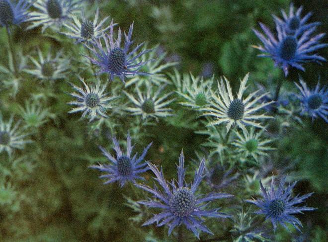 Eryngium 'Violetta'.