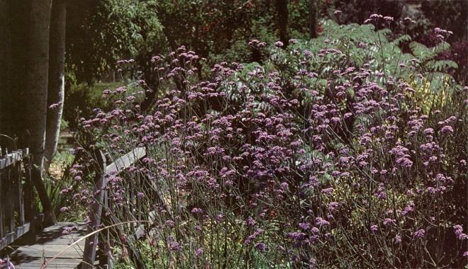 Verbena bonariense at Western Hills Nursery.
