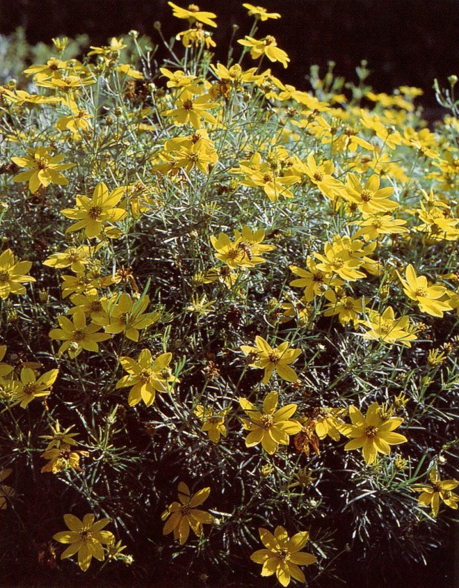 Coreopsis verticillata. Photograph by the author.