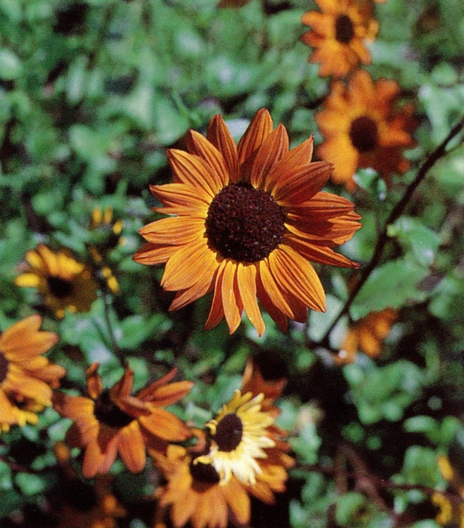 Helenium autumnale 'Coppelia'. Photograph by the author.