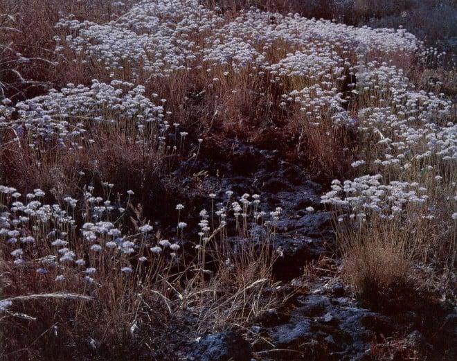 Allium amplectens, Napa County. Photographs by Roger Raiche.