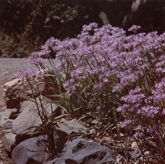 Allium unifolium, University of California, Berkeley, Botanic Garden.