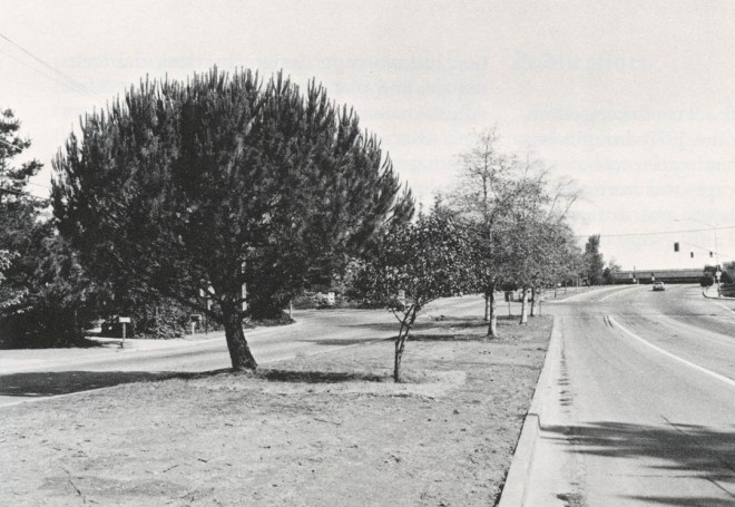 Pleasant Hill Road, Lafayette, California. Author's photograph. Irrigation of the central divider ceased and the turfgrass was removed as the drought worsened. Shallow irrigation has encouraged surface rooting and sweetgums, flowering cherries, and white alders show immediate distress and drop their leaves. Eucalyptus and stone pines show little or no distress. This brown sward will be greened with ground cover more suitable than grass next year, and the ailing trees replaced with others more tolerant of drought
